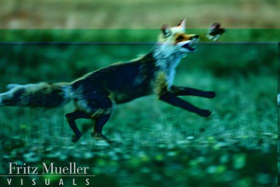 Red fox hunts a ptarmigan chick, ivvavik National Park, Yukon