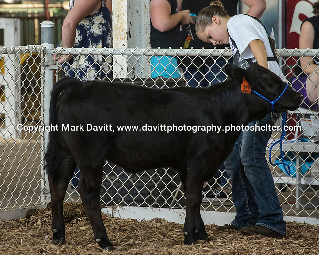 Emma Lihs of Mitchellville makes sure her calf has its feet straight while showing in the cattle show during the Polk County Fair July 21.