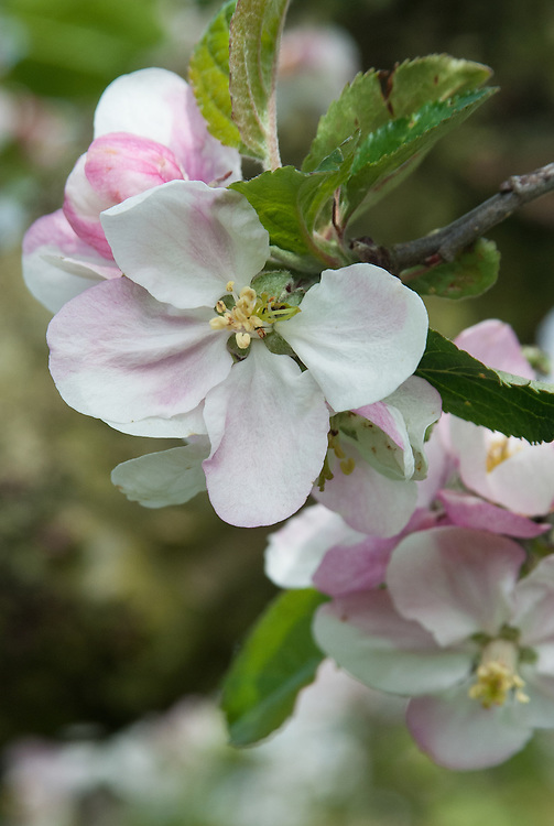 Blossom of Apple 'Byford Wonder', early May. An English culinary apple first recorded in 1893 and introduced commercially a year later by Cranstons Nursery, Hereford.