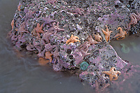 Sea stars and anemones at Second Beach, Olympic National Park, Washington
