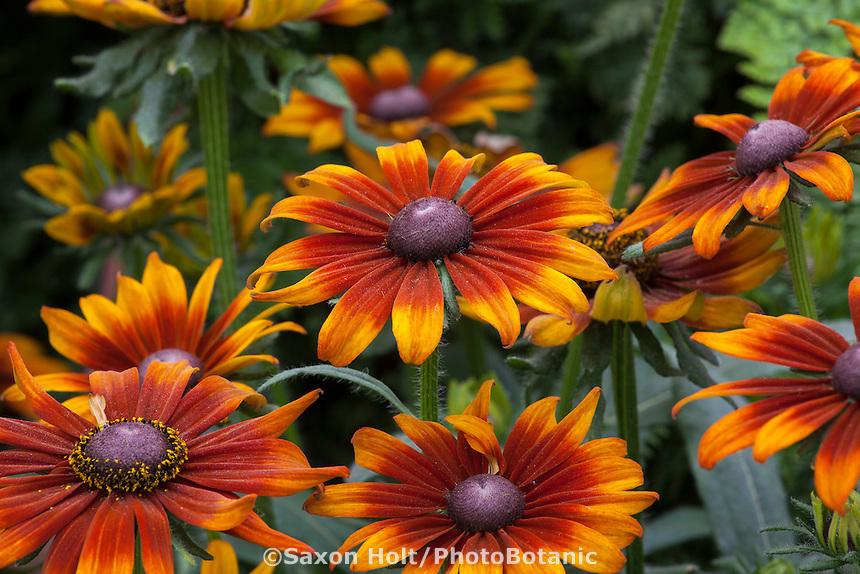 Echibeckia Summerina; intergenetic perennial flower hybrid