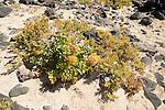 Sea kale plant , crambe maritima, sandy beach at Caleta de Caballo, Lanzarote, Canary islands, Spain