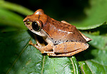 Madagascar Jumping Frog, Aglyptodactylus madagascariensis, Ranomafana National Park, Madagascar, Least Concern on the IUCN Red List