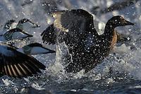 Eurasian eider duck males and females, Somateria molissima, Tana River mouth, Varanger Peninsula, Norway, Scandinavia