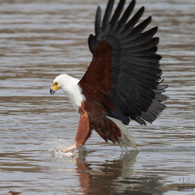 Fish eagle catching a fish on the Okavango River, in Botswana at the moment of impact.
