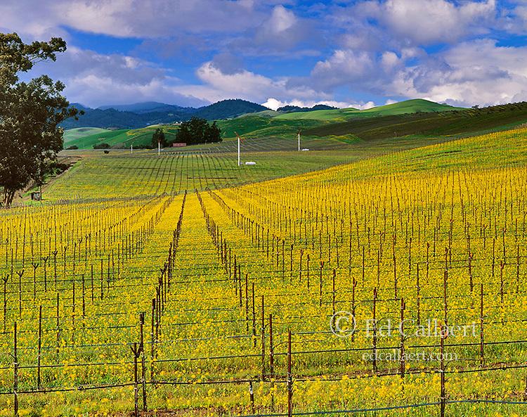 Clearing Storm, Mustard Field, Carneros Appellation, Napa Valley, California