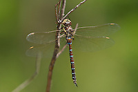 339580002 a wild male persephones darner aeshna persephone perches on a small plant  near a creek in scotia canyon cochise county arizona united states