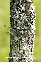 06340-001.18 Gray Petaltail (Tachopteryx thoreyi) perched on tree, Ripley Co.  MO