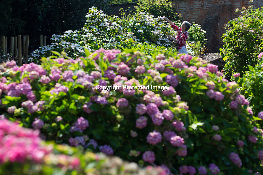 """20/06/16<br /> <br /> Alison Grimwood reaches for the top blooms.<br /> <br /> Tucked away in a hidden walled garden of an inner-city public park, the UK's largest hydrangea collection is putting on its best display ever, following the sudden heatwave after several months of rain.<br /> <br /> Full story:  <br /> <br /> https://fstoppressblog.wordpress.com/britains_biggest_hydrangea_garden/<br /> <br /> .And what used to be a flower traditionally associated with """"granny's cottage garden"""" is blooming back into fashion thanks to the rising trend for all things shabby chic and retro-styled.<br /> <br /> There are more than 600 individual hydrangea bushes with a dozen or so different varieties, planted in Derby's Darley Abbey park, formerly part of an estate belonging to the nearby cotton mills.<br /> <br /> All Rights Reserved, F Stop Press Ltd. +44 (0)1773 550665"""
