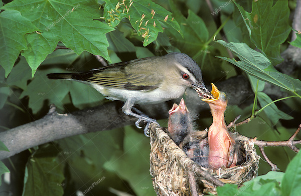 Red-eyed Vireo (Vireo olivaceus) nest in maple tree, adult feeding babies (Indiana)