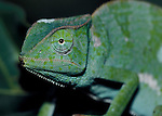 Green Chameleon, just shed skin, on leaf, West Africa