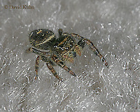 1015-06yy Jumping Spider - Family: Salticidae - © David Kuhn/Dwight Kuhn Photography