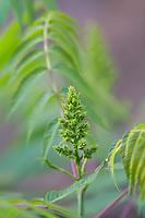 Anacardiaceae (Cashew and Sumac Family)