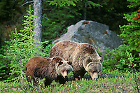 Grizzly Bear (Ursus arctos)sow with yearling cub. May-June, Northern Rockies.