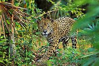 4MR56  Jaguar in Central American jungle.