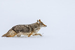 USA, Wyoming, Yellowstone National Park, coyote (Canis latrans)