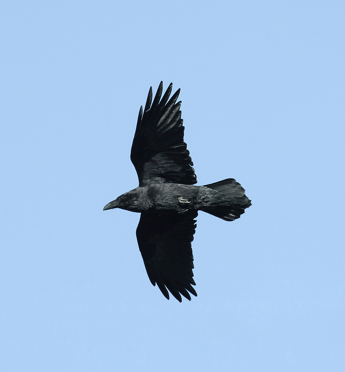 Raven Corvus corax L 55-65cm. Our largest passerine. Appreciably bigger than Carrion Crow, with massive bill and shaggy throat. Wary and mostly seen in aerobatic flight; note thick neck and wedge-shaped tail. Typically seen in pairs. Sexes are similar. Adult and juvenile have black plumage with an oily sheen. Voice Utters a loud and deep cronk call. Status Fairly common resident. Distribution has a westerly bias but signs indicate it may be returning to former haunts in central England. Favours rolling, wooded countryside, desolate upland areas, and rugged coasts.