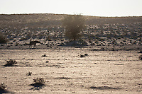 Spotted hyena walking in Nossob Riberbed