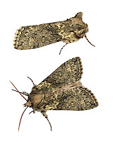 Frosted Green - Polyploca ridens<br /> 65.015 BF1660