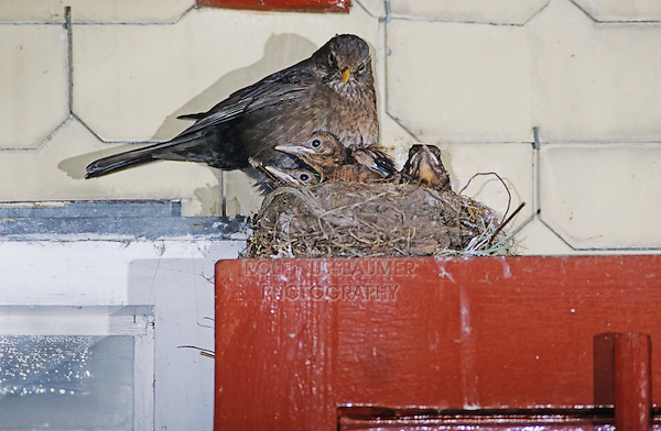 Common Blackbird, Turdus merula, female on nest with young on top of Window, Oberaegeri, Switzerland, May 1995