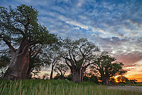 Baines' Baobabs in the wet season