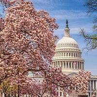 US Capitol Washington DC Magnolia Tree in the Spring