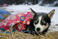 Thursday March 8, 2007   ----  One of Sebastian Schnuelle's dogs rests under a blanket at Takotna on Thursday morning.