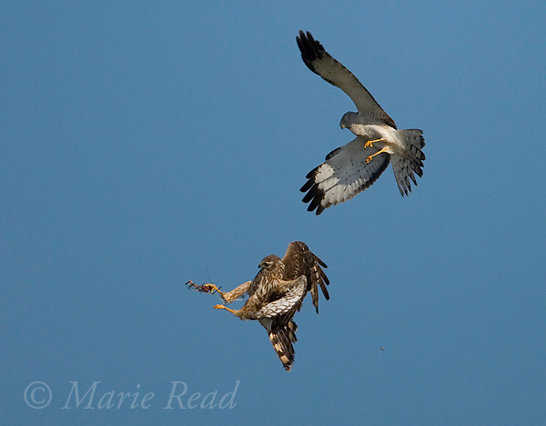 Northern Harriers (Circus cyaneus) pair during food exchange near nest, Montezuma National Wildlife Refuge, New York, USA<br />