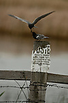 This male Black Tern was feeding a female on a fence post in a courting ritual. North Dakota.