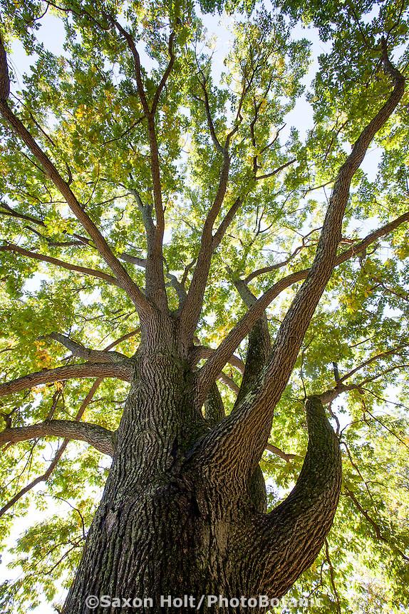 Ostrya virginiana v. virginiana - Eastern Hophornbeam tree Arnold Arboretum