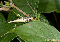 0816-0901  Two-spotted tree cricket, Neoxabea bipunctata © David Kuhn/Dwight Kuhn Photography