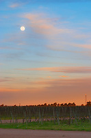 At sunset in the vineyard, the full moon is rising and the sky is a vibrant blue and orange. Vinedos y Bodega Filgueira Winery, Cuchilla Verde, Canelones, Montevideo, Uruguay, South America