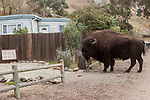 American Bison (Bison bison) bull in front yard, Santa Catalina Island, Channel Islands, California
