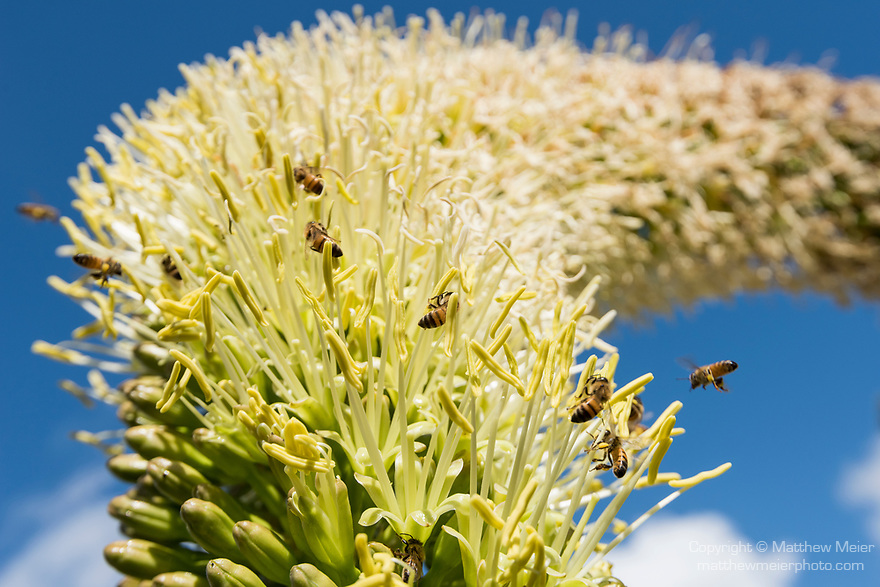 San Diego, California; several bees collecting pollen from the fresh flowers emerging from the stalk of an agave plant in early morning sunlight