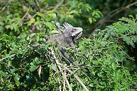 Wild Iguana in a tree on St. Thomas, U.S. Virgin islands.