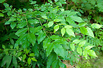 Prickly Ash leaves, thorn, Zanthoxylum americanum