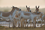 Herd of Indian wild asses (Equus hemionus khur), in dry clay pan, dry season<br /> The Indian wild ass's range once extended from western India, through Sind and Baluchistan, Afghanistan, and south-eastern Iran. Today, its last refuge lies in the little Rann of Kutch and its surrounding areas of the Greater Rann of Kutch in the Gujarat province.