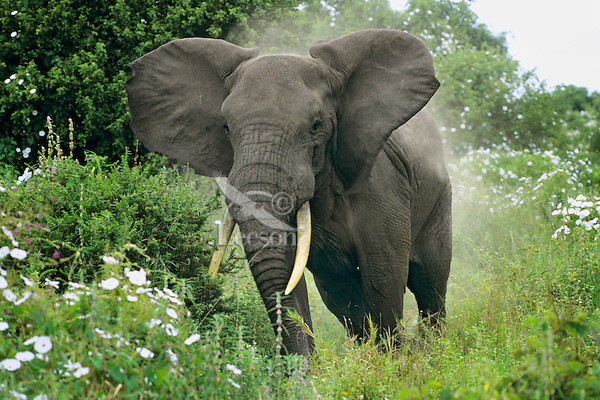 Large African Elephant bull flaps his ears in dominance display toward photographers (makes him look bigger).  Africa.
