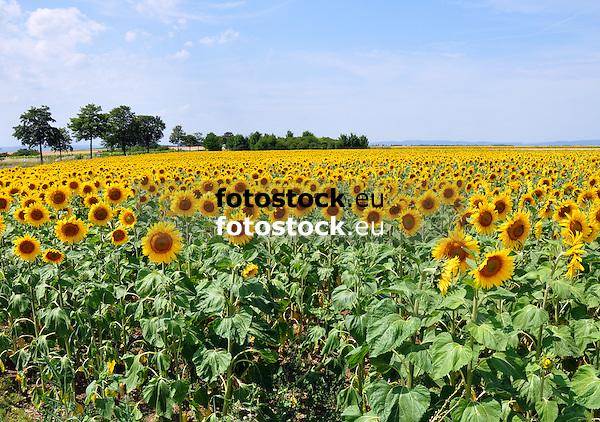 Sonnenblumenfeld in Rheinhessen