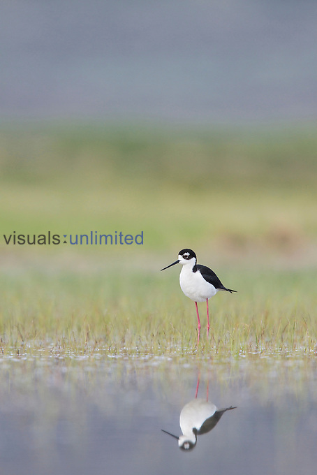 Black-necked Stilt (Himantopus mexicanus), Washington, USA.
