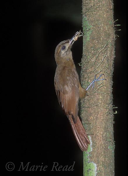 Plain-Brown Woodcreeper (Dendrocincla fuliginosa) with food captured at army ant swarm, Soberania National Park, Panama<br /> Slide # B99-107