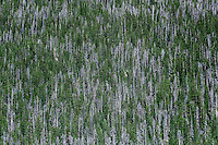 Spruce forest abstract, Colorado, USA