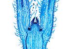 Coleus plant stem tip meristem. LM