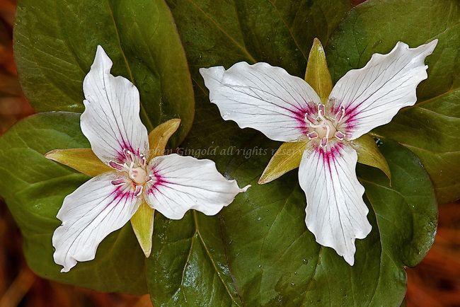 A pair of Painted Trilliums after a rain shower.