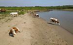 Foto: VidiPhoto<br /> <br /> OCHTEN &ndash; De koeien van melkveehouder Kees Buijs uit Ochten zijn maandag de meest gelukkige dieren van Nederland. De dieren hebben een all inclusive vakantie. De hele dag eten en drinken zoveel ze lusten, pootje baden, badderen, luieren en lekker zonnen op een priv&eacute;strand langs de Waal. En met bijna tropische temperaturen kun je koeien geen groter plezier doen. Bovendien worden ze tweemaal per dag ter plaatse van hun melk verlost. De boer komt daarvoor &rsquo;s morgens en &rsquo;s middags zelfs naar ze toe. Nog maar weinig melkveehouders werken op deze wijze.