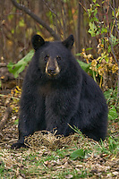 Black Bear cub sitting amongst some fall foliage