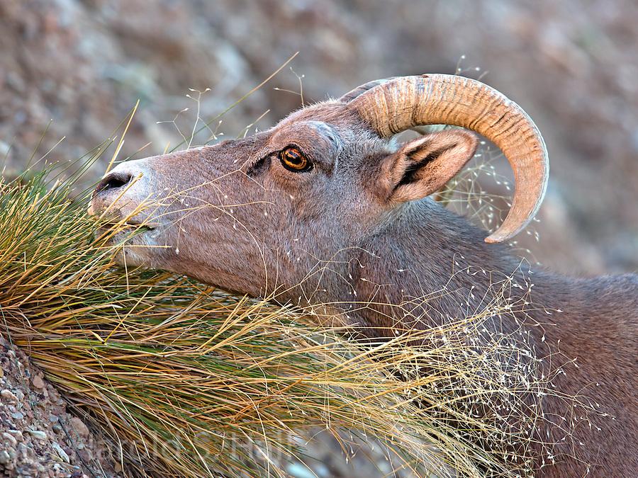 A lone ram Desert Bighorn Sheep is seen munching on grass in Zion National Park in Utah.