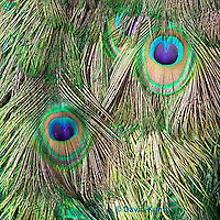 1112-0803  Male Peacock, Feather Details, Pavo cristatus © David Kuhn/Dwight Kuhn Photography.