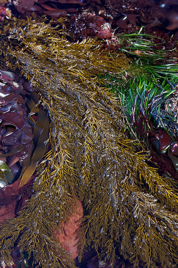 Tidepool Algae. Great Tidepool, Pacific Grove, CA