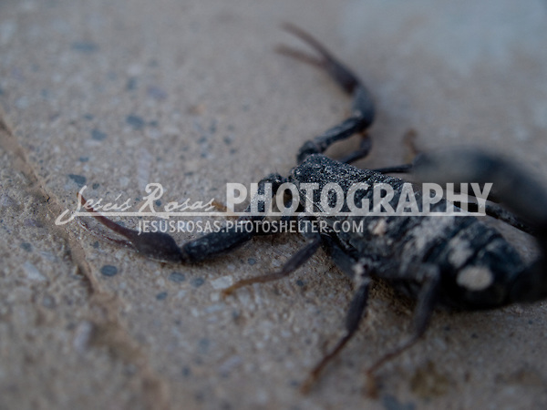 Scorpion close up